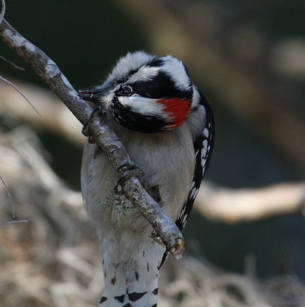 A Downy Woodpecker at Alexander Springs in the Ocala National Forest.