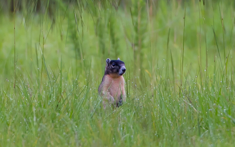 I was sitting on the edge of a field, eyeing a blackberry patch and hoping for a bear to stop by, when this fox squirrel popped his head up.