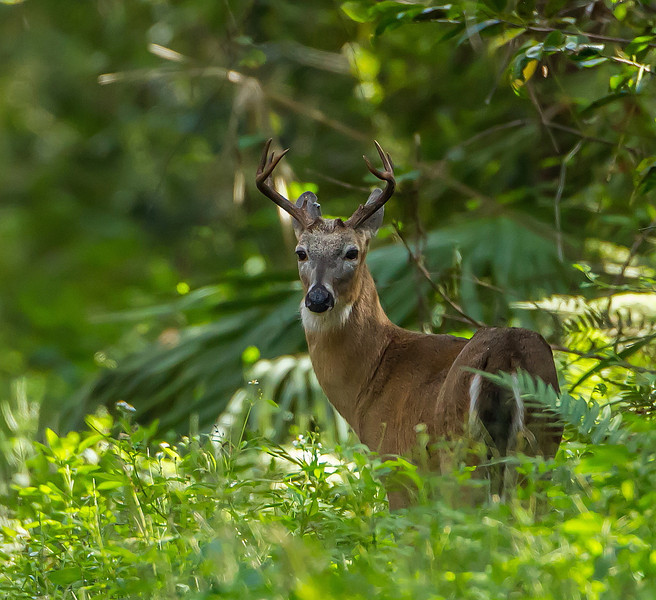 This old gray-faced buck has done well to survive as long as he has, down in the Fakahatchee Strand, the land of panthers.