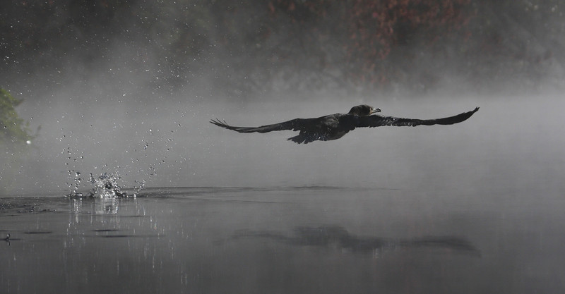 Cormorant take-off at Alexander Springs in the Ocala National Forest.