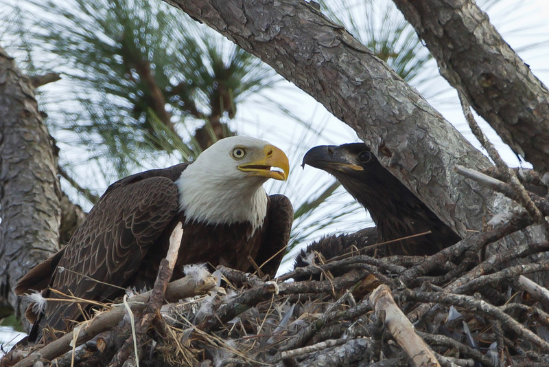 Mama Eagle with two hatchlings on 2/27/11 and all looked well at a nest by Lake Harney.