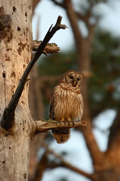 Barred Owl in Lower Wekiva River Preserve