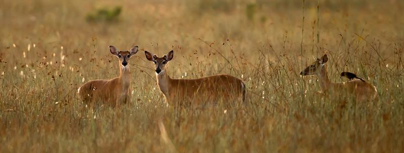 Glades deer at dawn.