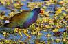 Purple Gallinule - 3/17/13
