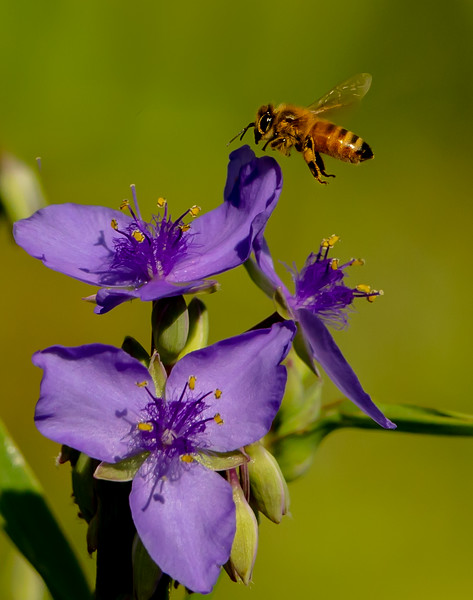 As with almost every photo, I took this with my 500mm.  I was in bear country surrounded by all of these beautiful Common Spiderwort flowers, full of bees.  I couldn't resist passing the time, trying to get a shot.  I'm actually surprised at how well it turned out.