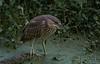 Immature Night Heron