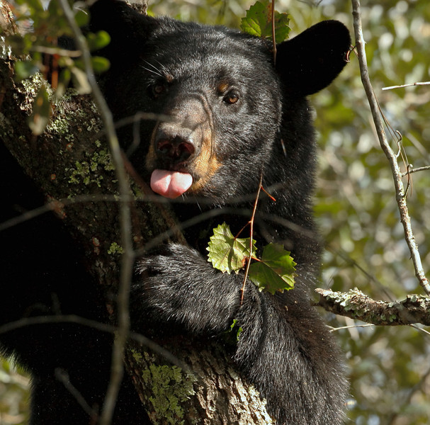This bear had quite the propensity for licking her chops after munching on acorns.  She seemed to a happy bear up 'dare!