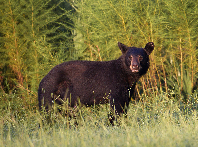 This is the first of three female bears I saw the same weekend in a rather small area of the Wekiva River Basin.  As you may know, females or sows as they are known, share their territory with their female offspring.  So, I am thinking the three might be related.  We'll call this one Sow #1.