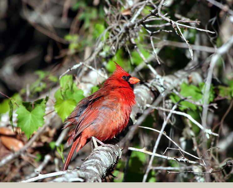 Cardinal by the shores of Lake Harney