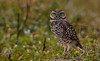 """Although these birds do exist in the Wekiva River Basin and recently were moved to make way for the Beltway, this photo was taken in South Florida. The Burrowing owl is listed as a """"species of special concern"""" in Florida."""