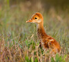"""On March 6th, 2013, I took this picture of a Sandhill Crane chick and my original comment was:  """"My first photo of a Sandhill Crane chick.  It  just seemed so small and fragile.""""  Now check out the next photo."""