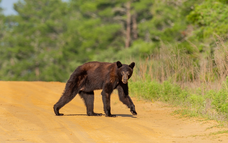 My wife's photo of the bear in the previous photo.  Taken with a 100/400 in the Ocala National Forest