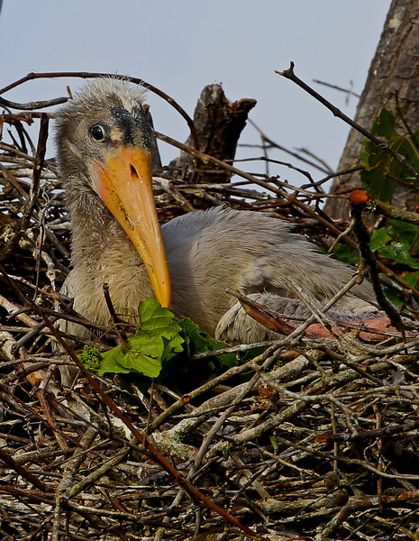 Baby Wood Stork