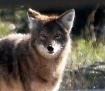 Coyote in Rock Springs Run State Reserve