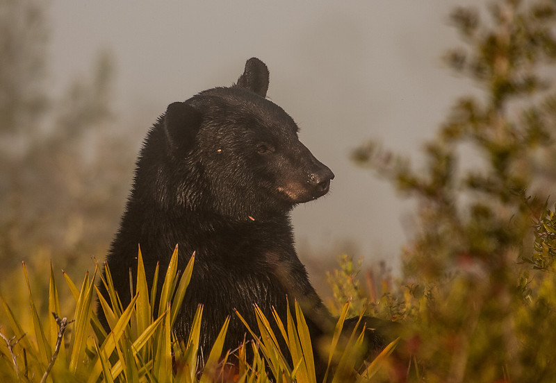 """Meet """"Bruno"""", the alpha male of the Forest. For the last 3 years, I have been trying to get a photo of a Florida Black Bear standing amidst he palmetto scrub. On the foggy morning of Dec. 20, 2008, """"Bruno"""" appeared, stood up (all 6+ feet of him) and with an innocent and endearing look, granted me my wish."""