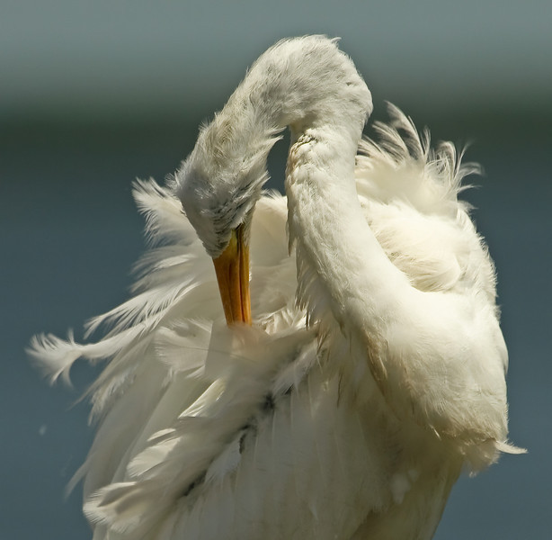"""Twenty-five mph winds kind be tough even on the """"coiffure"""" of a Great White Heron!"""