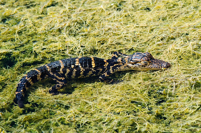 Baby gator at approximately 6 weeks of age.