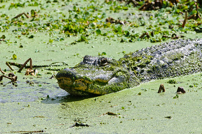 Gator hiding in the duckweed.