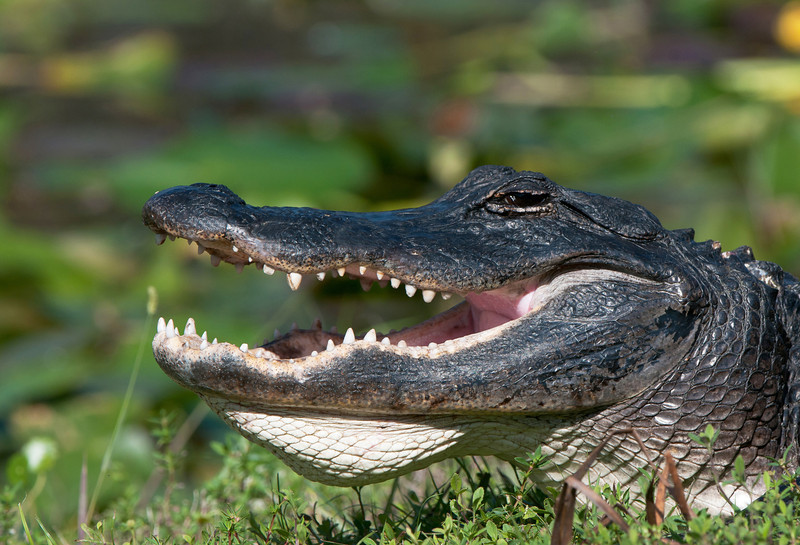 A gator bellows to announce his territory.