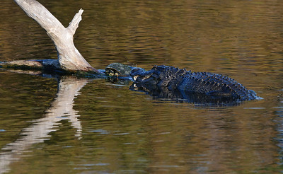 Alligator attempts to capture a turtle.  The turtle escaped.
