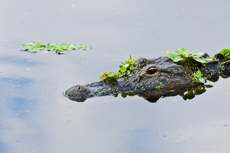 An alligator used floating  plants as camouflage to stalk his prey.