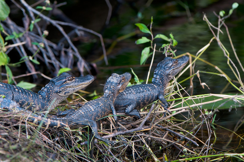 Baby gators heading for the water.