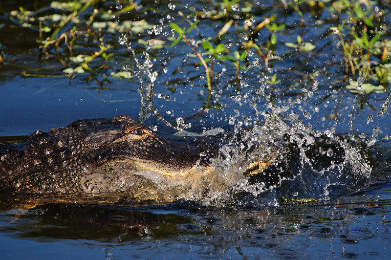 A gator slams his jaws onto the marsh surface to frighten his prey.