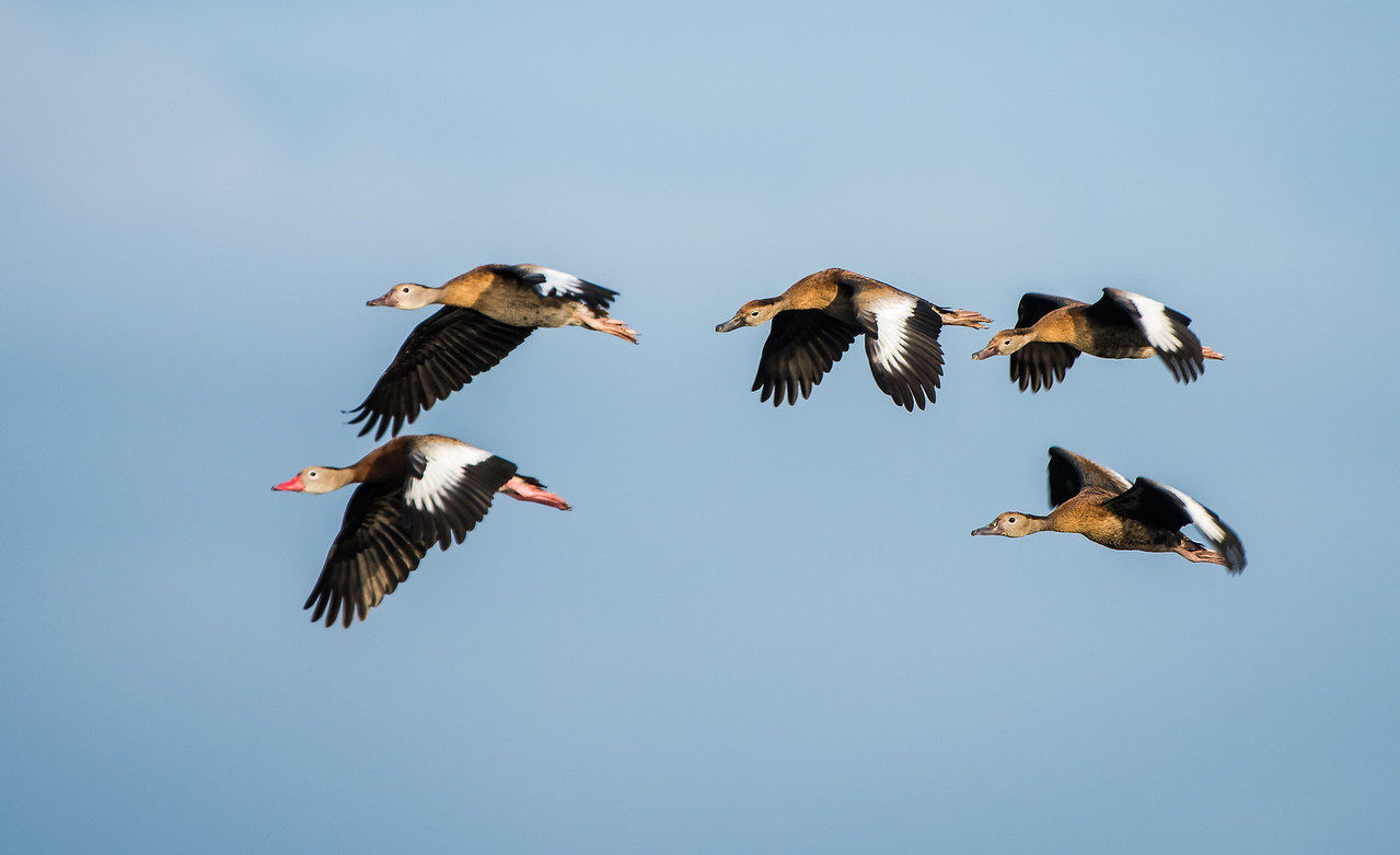 Whistling Ducks doing a Morning Fly By