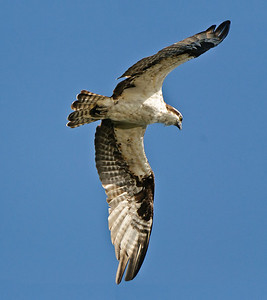 Osprey in flight, searching for fish.