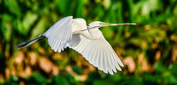 Great White Egret in flight.