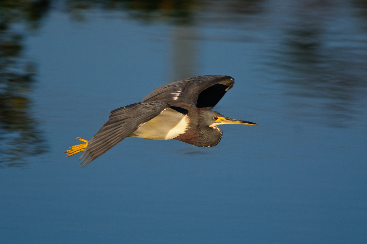 Daybreak finds a tricolor heron flying over the glades.