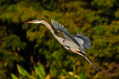 A male GBH bring a new stick to his nest.