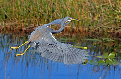 A tricolor heron takes off in the early morning light for a flight over the everglades.