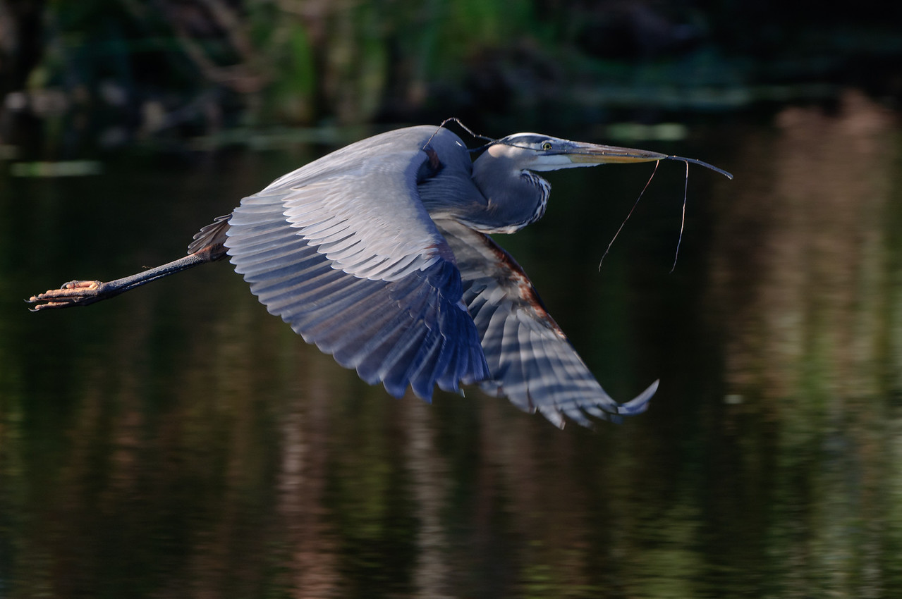 A Great Blue Heron brings nesting materials back to his growing nest site.