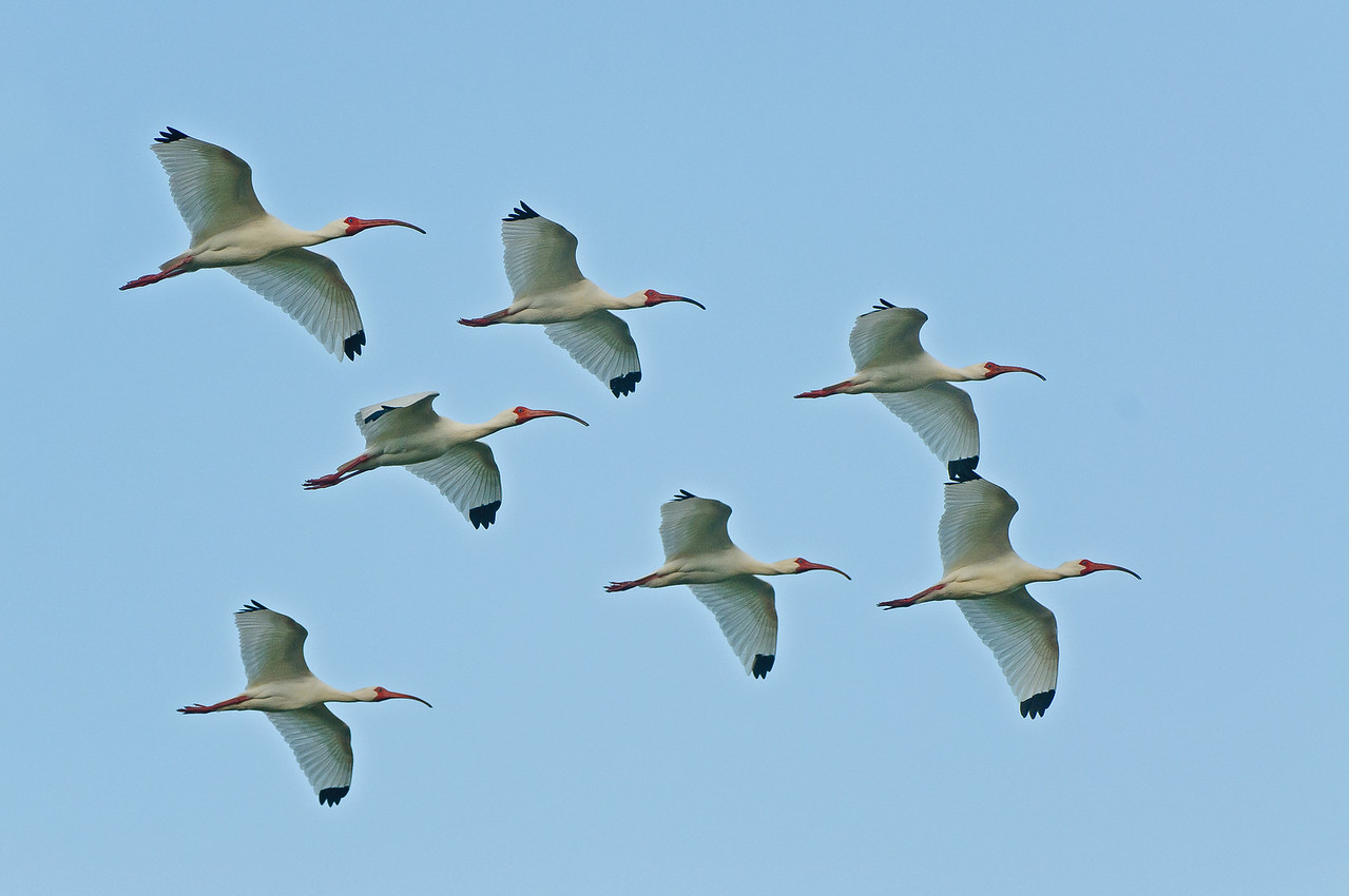 White Ibis in flight.