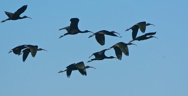 Glossy Ibis flight