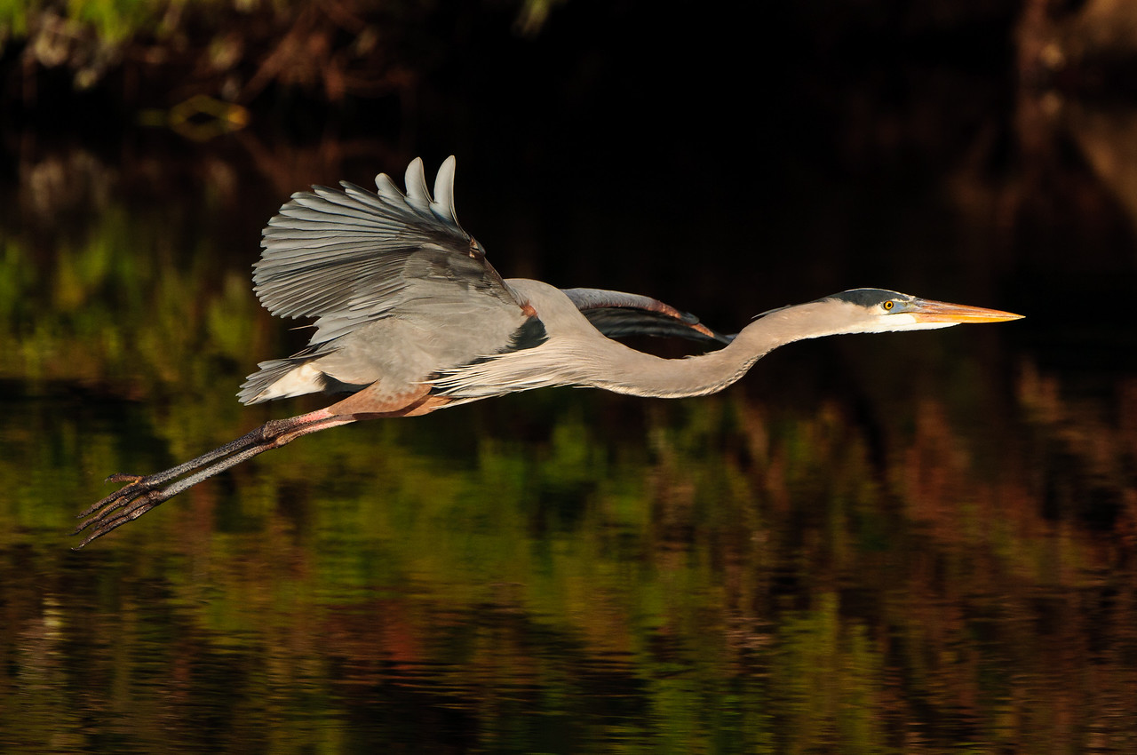 A Great Blue Heron majestically glides over the glades.