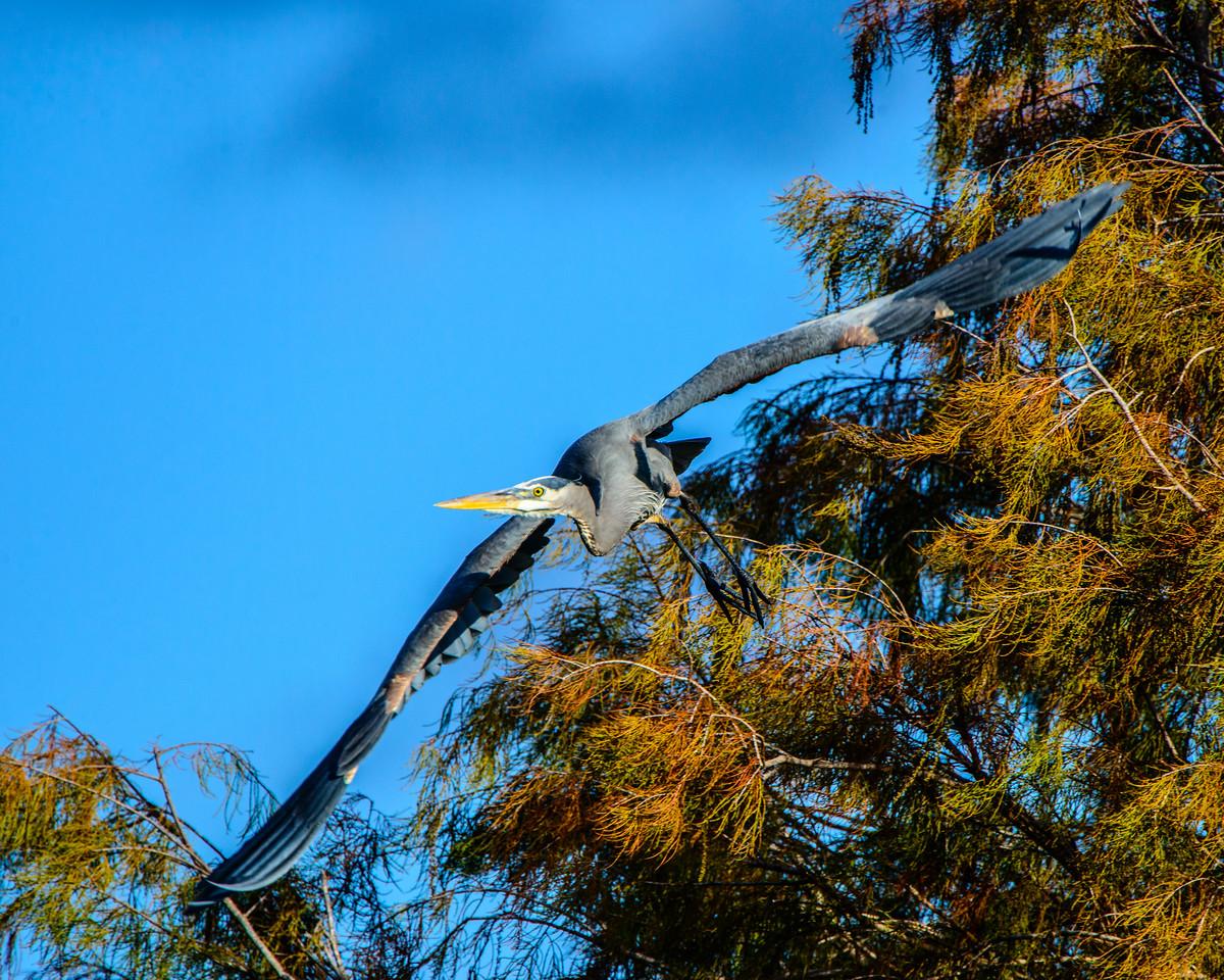 Great Blue Heron banks in flight