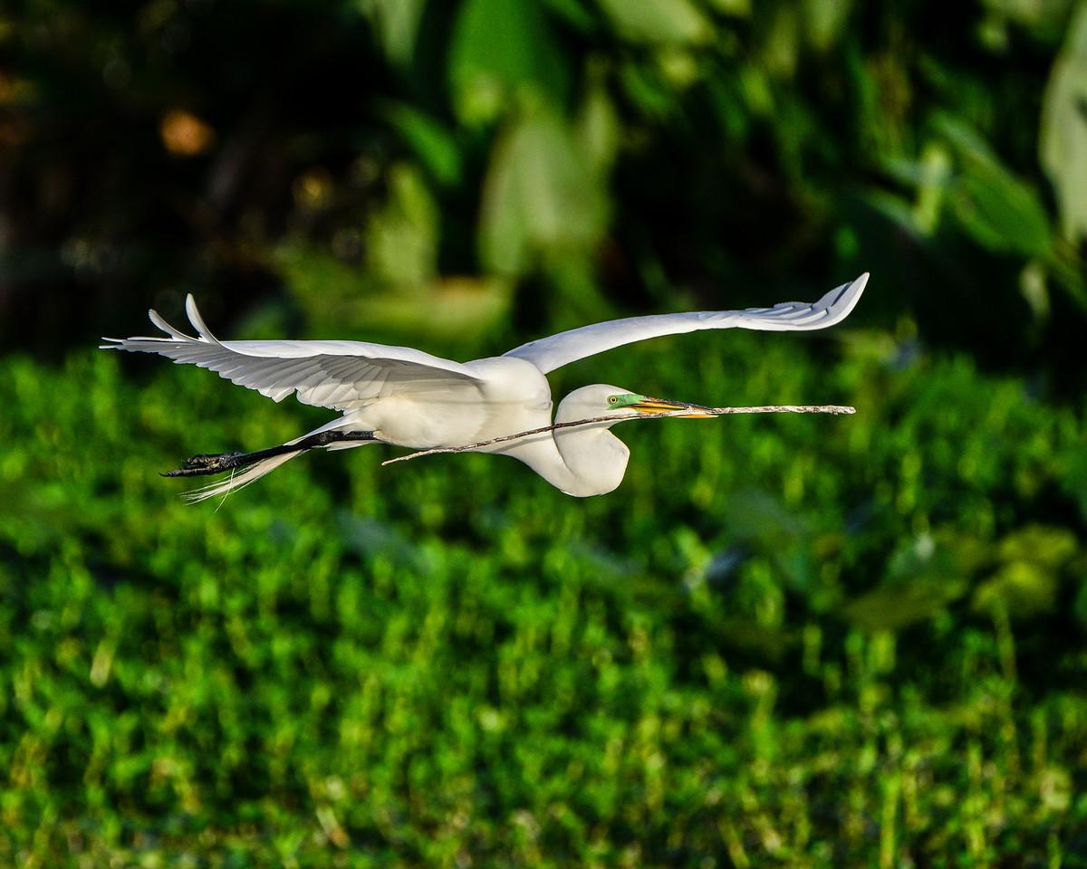Great White Egret in flight.