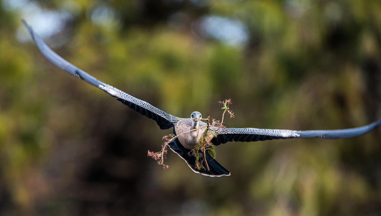 This is a female anhinga returning to her nest and bringing a piece of nesting material with her.