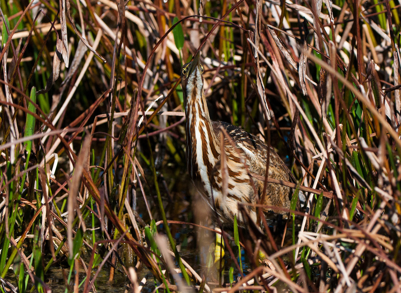 The American Bittern's best defense is to stand motionless inthe grass while holding its head skyward. With its nearly perfect coloration the bird just blends into the grass.