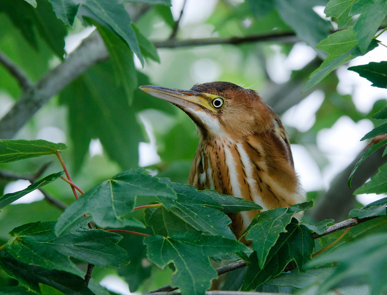 Least Bittern female attempting to hide in a red maple.