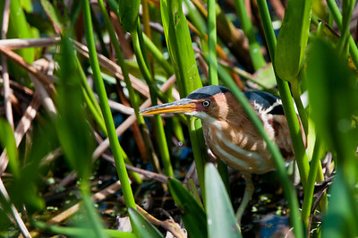 The Least Bittern is a very reclusive bird who spends most of his time hiding in the marsh plants.  This bold fella actually peeked his head out for a very brief moment.