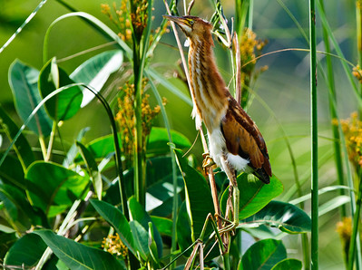 Least Bittern female clings to a windblown reed.