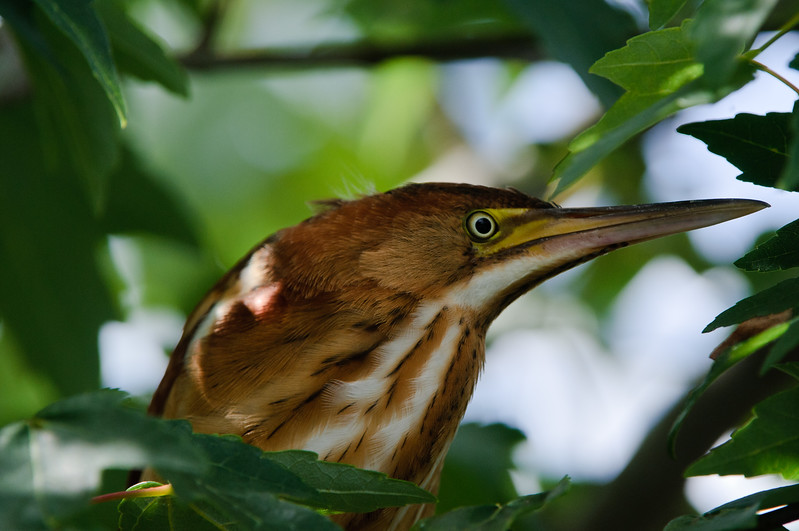 A rare close up opportunity of a Least Bittern female trying to hide in a red maple tree.
