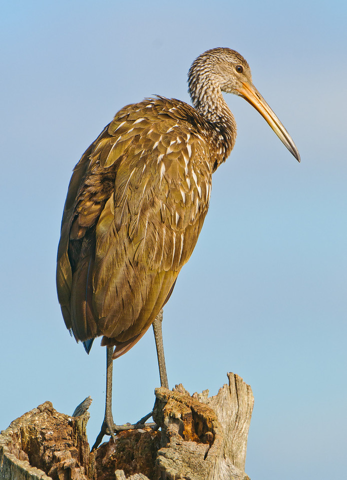 Limpkin perched on dead stump