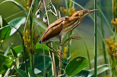 "Least Bittern female ""walking the reeds."""