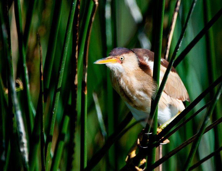 Least Bittern Male