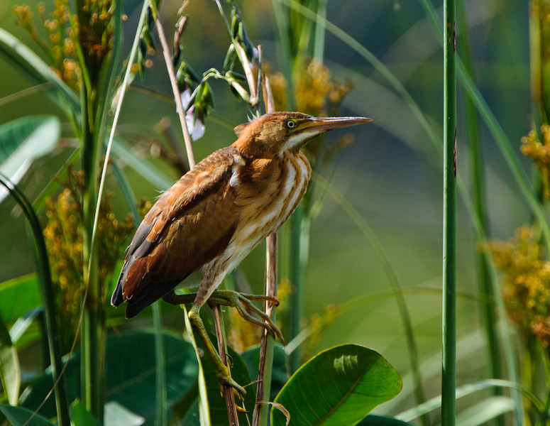 The Least Bittern is an extremely reclusive bird that is rarely seen in the open. This series is the only time I've seen this bird in the clear all year.  Pictured is a breeding female.