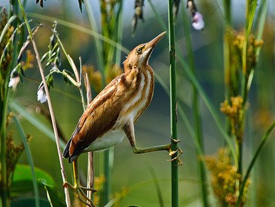 "Least Bittern female playing ""pole dancer""."